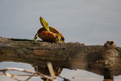 Painted Turtle Sunning Stock Images