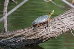 Painted Turtle Sunning. Two Painted Turtle Sunning on a log Royalty Free Stock Image