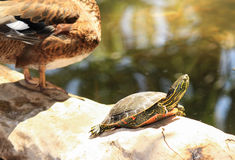 Painted Turtle. A painted turtle suns itself on a log next to a duck stock photos