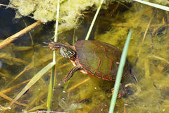 Painted turtle swimming Stock Image
