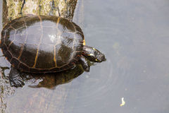 Painted Turtle. About to take a dip in the creek Stock Images