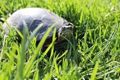 Painted Turtle Walking Through Grass stock photo