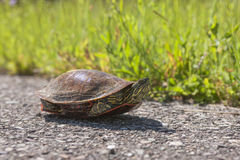 Painted turtle on walking path. A painted turtle is on a walking path at the National elk and bison range in Montana Stock Photo