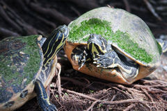 Painted turtle in wildlife. On the waters edge Royalty Free Stock Photography