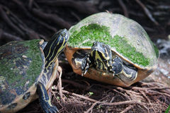 Painted turtle in wildlife. On the waters edge Stock Photography