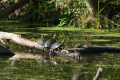 Painted Turtles Basking in the Sun. Royalty Free Stock Image