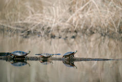 Painted Turtles royalty free stock image