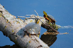 Painted Turtles Basking in the Sun Stock Photo