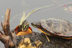 Painted Turtles (Chrysemys picta). Pair of Painted Turtles (Chrysemys picta) sunning on a log Stock Photo