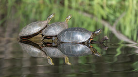 Painted Turtles on Log royalty free stock photo