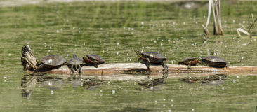 Painted turtles on a log. Stock Photo