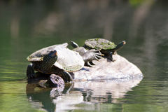Painted Turtles Stock Images