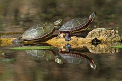 Painted Turtles Reflecting in the Water Stock Photos