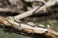 Painted Turtles in a row Royalty Free Stock Photos