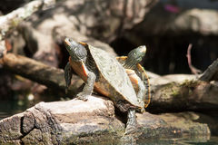 Painted Turtles Snuggling Royalty Free Stock Photo