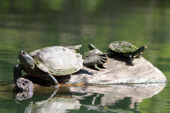 Painted Turtles Sunning Themselves Royalty Free Stock Images