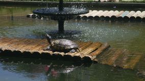 Painted Turtles taking sun - Chrysemys picta,. Shot of Painted Turtles taking sun - Chrysemys picta stock video