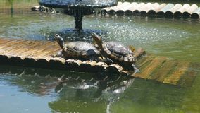 Painted Turtles taking sun - Chrysemys picta,. Shot of Painted Turtles taking sun - Chrysemys picta stock footage