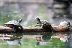 Painted Turtles with their reflection in the water Royalty Free Stock Image