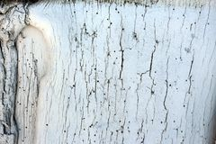 Painted in lime tree bark. Painted white tree bark with a crack stock image
