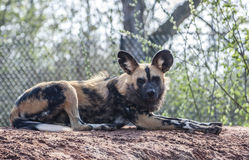 Painted Wild Dog Royalty Free Stock Photo