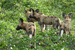 Painted wild dogs Royalty Free Stock Images