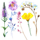 Painted wildflower flowers set in a watercolor style. Set includes isolated herbs: meadow, daisy, calla and waxflower. Art could be used for tattoo designs Stock Images