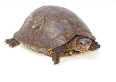 Painted wood turtle Royalty Free Stock Images