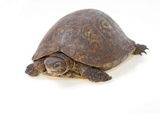 Painted wood turtle Royalty Free Stock Image