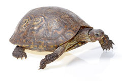 Painted wood turtle Stock Images