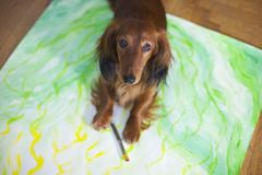 Dachshund artist. A painter with four paws stock images