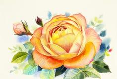 Painting art watercolor flower illustration orange color of rose Stock Image