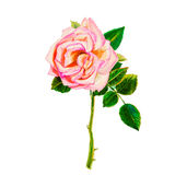 Painting art watercolor flower illustration pink color of rose Royalty Free Stock Photo