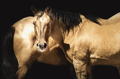 BROWN HORSE PORTRAIT PAINTING WITH BLACK BACKGROUND