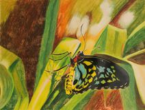 Painting of Cairns Birdwing butterfly Stock Photography