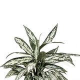 Houseplant painting with white background