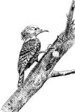 Sketch pecker. A painting,a illustration, woodpecker on tree ,eat food Royalty Free Stock Image