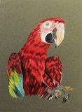 Painting of macaw bird. Very detailed artwork of macaw bird painted with color pencils.  Beautiful as greeting cards Royalty Free Stock Photo
