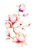 Painting Magnolia Flower Wallpaper. Hand Drawn Watercolor Floral Stock Photography
