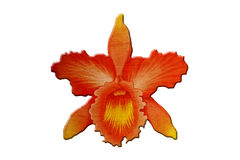 Painting orange orchid. On white background Royalty Free Stock Photo