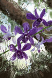 Painting Orchid purple tree in the garden. Royalty Free Stock Photography
