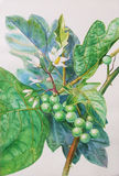 Painting original realistic herb of turkey berry and green leaves Stock Images