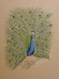 Painting of peacock bird. Very detailed artwork of a peacock painted with color pencils.  Beautiful as greeting cards Stock Photo