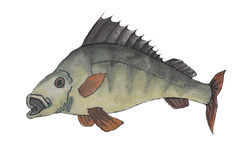 Painting of perch fish royalty free stock photo