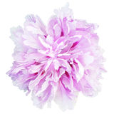 Painting pink-purple flower isolated Stock Image