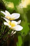 Painting plumeria white style oil painting. - Stock Image Stock Image