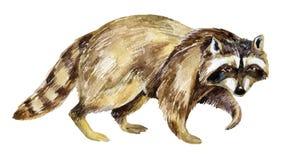Painting Of Raccoon Stock Photos