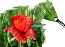 Painting red poppy Royalty Free Stock Photos