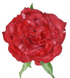 Red rose painting of feeling romantic and love Stock Photo