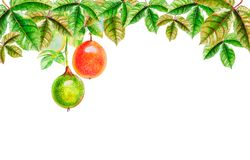 Painting watercolor Tropical Leaves of passion fruit. Painting watercolor Tropical Leaves illustration realistic on paper,red, yellow,green color of passion royalty free illustration